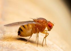 Fruitfly Sitting on Leaf (Drosophila melanogaster)