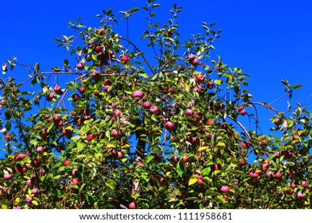 Fruitful branches of apple tree with red apples on background of a vivid blue sky. Stunning fruit trees in an orchard in autumnal or summer sunlight day. Best conceptual picture for farmers.