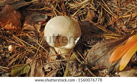 Fruiting bodies of inedible mushrooms, taken in the month of October in northeastern Poland Zdjęcia stock ©