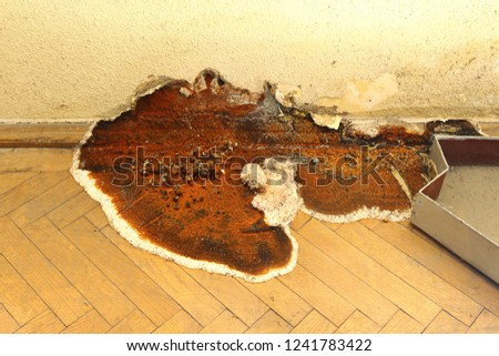 fruiting body of dry rot growing on parquet ( Serpula lacrymans )