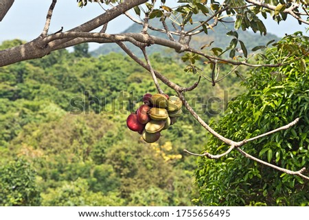 Fruits Hanging on a Tree at Koh Phi Phi Viewpoint on Koh Phi Phi Island, Thailand, Asia
