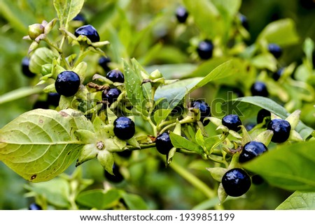 Fruits of belladonna or banewort or dwale or deadly nightshade – Atropa belladonna -  in autumn, Bavaria, Germany, Europa