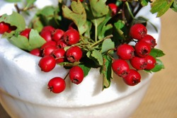 Fruits of hawthorn. a thorny shrub or tree of the rose family, and small dark red fruits.Crataegus monogyna, Medicinal plant,