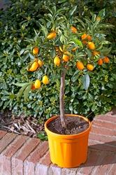 Fruits of Kumquat, Fortunella margarita plant in an orange pot on a brick wall
