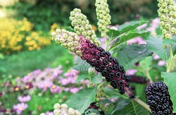 Fruits of Phytolacca americana, also known as the American pokeweed, is a poisonous, herbaceous, perennial plant.