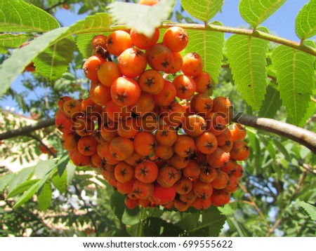 fruits of rowan, Sorbus aucuparia #699555622