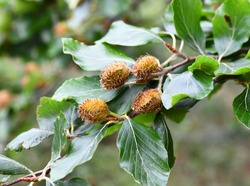fruits of the common beech