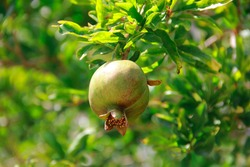 fruits of unripe green pomegranate in leaves on branches