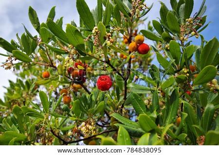 fruits on Chinese bayberry  tree (Myrica Rubra)