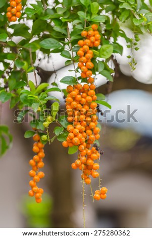 fruits, seeds of light blue purple flower small plant, Sky flower, Golden dew drop, Pigeon berry, Duranta, tropical decorative plants with beautiful flower and small golden yellow fruits in THAILAND