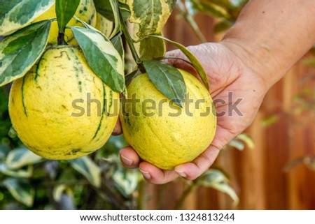 Fruits , two green sweet orange with leaves hanging on branch, Gardeners are harvesting produce, The variegated pink lemon, also called the variegated Eureka lemon,