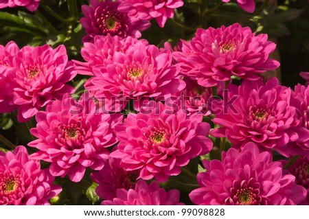 Fuchsia colored Chrysanthemums in a Dutch greenhouse ready for harvesting.