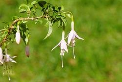 Fuchsia (Fuchsia magellanica) Evening Primrose family (Onagraceae). September, in a Dutch garden.
