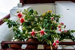 Fuchsia hybrida flower blooming.  Popular houseplant. Fuchsia garden flower.