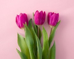 Fuchsia tulip flowers on a pastel pink background. Minimal composition. Spring.