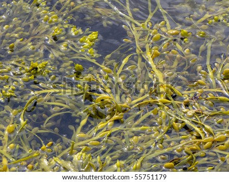 Fucus is a genus of brown alga in the Class Phaeophyceae