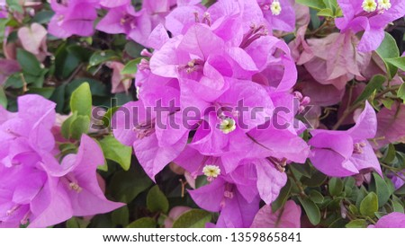 Fuengfah is a semi-perennial shrub type. Size from small shrubs to large shrubs There are thorns along the trunk, single leaves break out, alternating with branches or indentations.  #1359865841