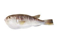 Fugu fish isolated on white background