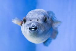 Fugu puffer blowfish fish Arothron Hispidus in aquarium as nature underwater sea life background