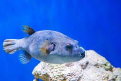 Fugu puffer blowfish fish Arothron Hispidus in aquarium as nature underwater sea life background