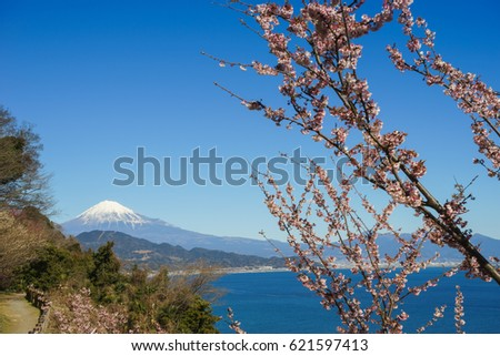 Fuji and cherry blossoms seen from the Satta Pass