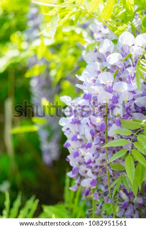 Fuji's (Japanese wisteria) flower is light purple, and the color name of Fuji is derived from this