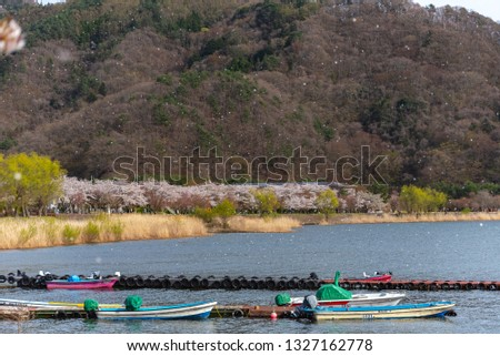 Fujikawaguchiko Cherry Blossoms Festival. View of full bloom pink cherry trees flowers petals falling down at Lake Kawaguchi in springtime sunny day. Yamanashi Prefecture, Japan #1327162778