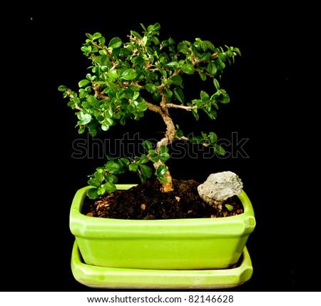 fukien tea plant as japanese bonsai style on black background