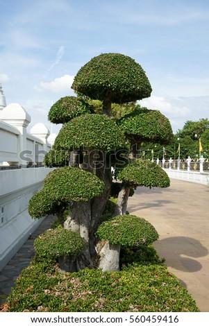 Fukien tea tree [Carmona retusa (Vahl) Masam.]   #560459416