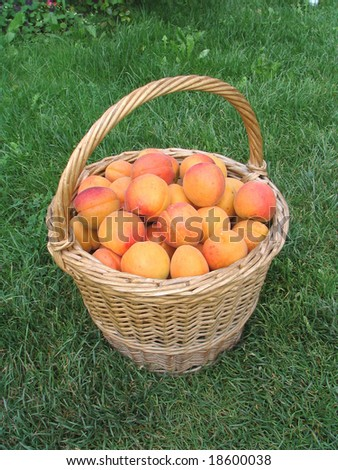 Full basket of apricots