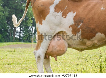 Big Cow Udder http://www.shutterstock.com/pic-92793418/stock-photo-full-big-udder-of-a-young-brown-cow-standing-on-pasture.html