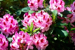 Full bloom hybrid Pontic Rhododendron (Rhododendron ponticum) in springtime which is evergreen shrub has pretty cluster of large flower use as landscaped ornamental plan.