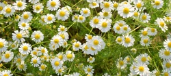 Full bloom of chamomile flowers.camomile.