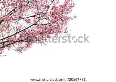 Full bloom sakura flower tree isolated, pink japan flora bush, spring floral branch on white background. Treetop of Cherry blossom petal leaf.