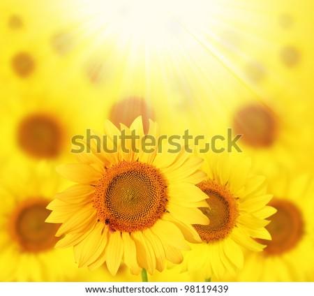 Full bloom sunflowers backlit by sunlight in a sunflower garden