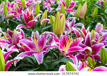 Full blooming of lily flower in garden.