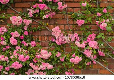 Full blooming of Pretty Pale Pink Climbing Rose with red brick wall background. Beautiful Sweet Rambling Rose Flower (Rosa Super Fairy, Mannington Mauve Rambler) in Uminonakamichi garden,Fukuoka,Japan