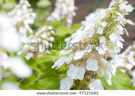 Full blooming of white hydrangea flower in early summer