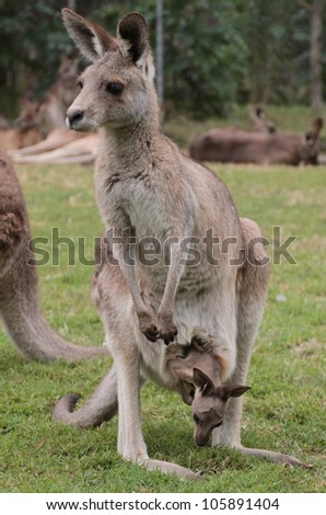 Full body frontal shot of mother Australian Kangaroo with baby joey in pouch