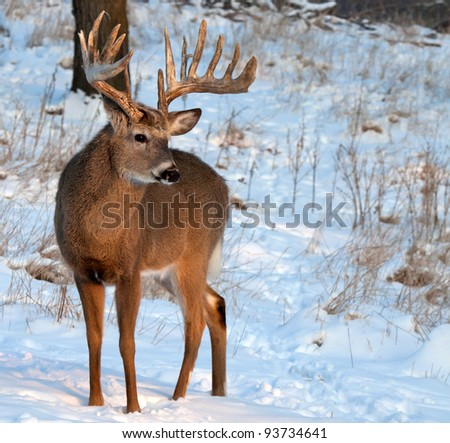 Full body image of a trophy whitetail buck in morning sun.  Winter in Wisconsin.