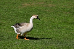 Full body of domesticated chinese geese on the green meadow. Photography of nature and wildlife.