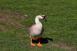 Full body of domesticated female chinese geese on the green meadow. Photography of nature and wildlife.