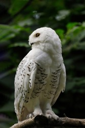 Full body of female snowy owl on the tree branch. Photography of nature and wildlife.