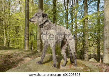 Full body picture of a grey male Scottish Deerhound standing on a large stone in a freshly burst beech forest with light green leaves. #601203323