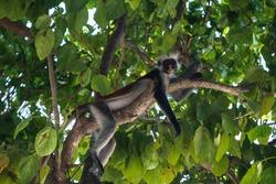 Full body portrait of a red colobus monkey lounging on a tree in Zanzibar, Tanzania