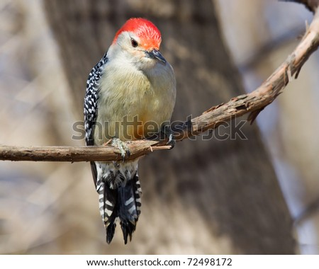 full body portrait of red bellied woodpecker perched on a vine an inquisitive expression on its face; out of focus blue sky and brown trees and branches background