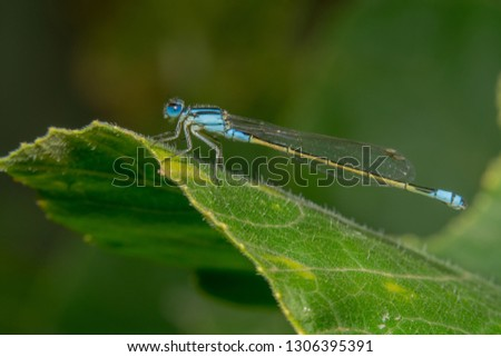 Full body shot Blue damselfly with a yellow tail is sitting on a green leaf with shiny eyes and it's head tilted to the camera. Far away shot to cover whole body of damself fly #1306395391