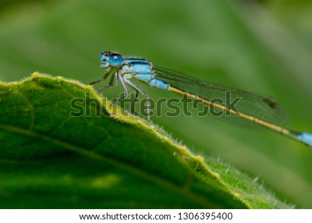 Full body shot Blue damselfly with a yellow tail is sitting on a green leaf with shiny eyes and it's head tilted to the camera #1306395400