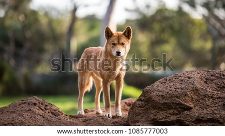 Full body shot of Dingo in Australia looking straight towards the camera.