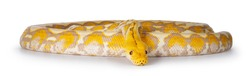 Full body shot of Lavender Albino Reticulated python aka Malayopython reticulatus snake. Isolated on white background.
